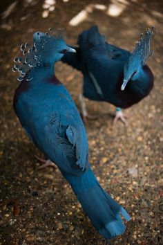 Victoria Crowned Pigeons from Papua New Guinea.