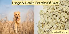 Dog Yeast Infection - 4 Steps to Natural Elimination Yeast In Dogs, Garlic For Dogs, Hyperactive Dog, Oat Straw, Garlic Benefits, Wild Oats, Types Of Grass, Old Dogs, Pet Health