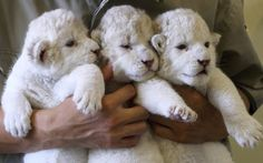 Nine-day-old lioness cubs are held by zoo keepers at Himeji Central Park, Japan. The seven white lioness cubs, given birth by three female South African Lions were born on June 6th, 26th and 30th. The cubs will be on public display for the first time later this week.