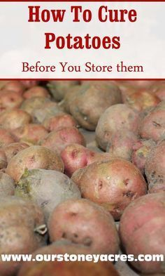 DIY Food Preservation Tips and Recipes : Curing potatoes before winter storage is an important process that will help assure longer storing times for your potato crop. -Read More – Growing Vegetables, Fruits And Vegetables, Veggies, Vegetables Garden, Winter Vegetables, Herbs Garden, Growing Tomatoes, Organic Gardening, Gardening Tips