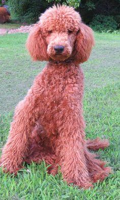 Kamri-red standard poodle