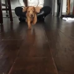 Dachshund Funny, Dachshund Puppies, Cute Dogs And Puppies, Funny Puppies, Amazing Animal Pictures, Funny Animal Pictures, Dog Pictures, Cute Funny Animals, Cute Baby Animals