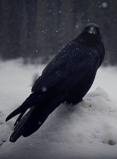 122014 Xmas Bird Count ~ Crow in the snow