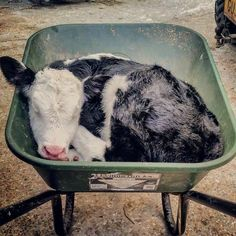 19 Reasons Why Cows Are Basically Just Really Big Dogs - I Can Has Cheezburger? farm animals 19 Reasons Why Cows Are Basically Just Really Big Dogs Cute Baby Cow, Baby Cows, Cute Cows, Cute Baby Animals, Animals And Pets, Funny Animals, Wild Animals, Baby Elephants, Lil Baby