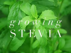 How to Grow Stevia