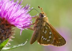Silver-spotted Skipper (underwing)