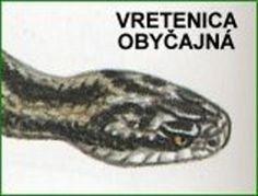 Vretenica obyčajná