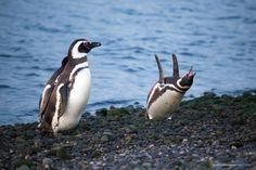Pinguinos en la ria de Puerto Deseado