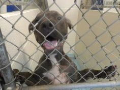 PLEASE SAVE ME!  WEST VIRGINIA KILL SHELTER - 10/13/16 - Petango.com – Meet Flea, a 3 years 2 months Terrier / Mix available for adoption in CHARLESTON, WV