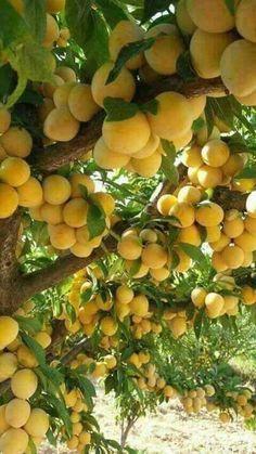 Yellow Plums / Geel Pruime Fruit Plants, Fruit Garden, Fruit Trees, Trees To Plant, Exotic Fruit, Tropical Fruits, Fruit And Veg, Fresh Fruit, Yellow Plums