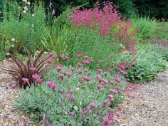 The water-wise garden with flowers of Pelargonium sidoides at bottom, Arctotis acaulis 'Torch' in the middle, and a penstemon at top