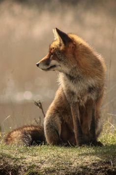 Wild Fox © by GitLob