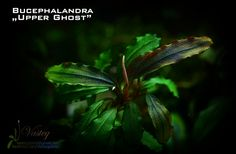 Freshwater Aquarium Plants, Planted Aquarium, Aquarium Fish, Freshwater Fish, Colorful Fish, Tropical Fish, Aquascaping Plants, African Cichlids, Aquatic Plants