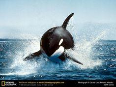 orca  水面から飛び出すシャチ