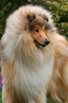 Deep Secret, chien Colley à poil long