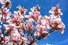 magnolia trees in paris