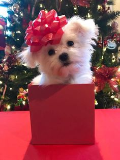 I would love this gift. Westie Puppies, Maltese Dogs, Cute Puppies, Cute Dogs, Dogs And Puppies, Teacup Maltese, Puppy Pictures, Cute Pictures, Animals And Pets