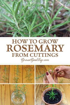 Indoor Garden Learn how to take rosemary cuttings from an established mother plant and grow new rosemary plants in containers that can be moved outside in summer and indoors in winter.