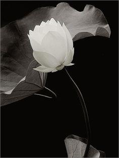 White Lotus Flower IMGP0576 by Bahman Farzad, via Flickr