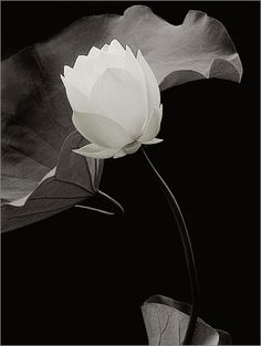 White Lotus Flower by Bahman Farzad, via Flickr