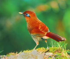 Rufous Laughing Thrush.  Birds of Taiwan.  Photo by Johnfish on Flickr.