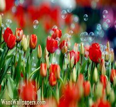 Flowers Wallpaper,Beautiful Flowers,Free Download flowers wallpapers,rose flowers wallpaper