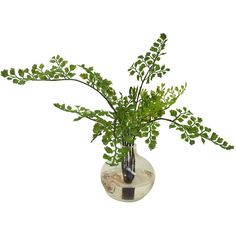 "14"" Maidenhair Fern in Vase - Faux Arrangements ($35) ❤ liked on Polyvore featuring home, home decor, floral decor, plants, flowers, fern, nature, plants & flowers, decorative accessories and floral home decor"
