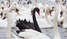 Real life Black Swan...beautiful!  The black swan - Cygnus atratus - is native to Australia and not indigenous to the UK