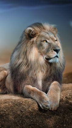 Lions in Love Wallpaper Big Cats Animals Wallpapers) – Wallpapers Lion Images, Lion Pictures, Animal Pictures, Beautiful Lion, Animals Beautiful, Cute Animals, Lion Wallpaper, Animal Wallpaper, Lion Photography