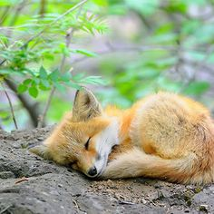 Sweet Dream Of Red Fox Cub