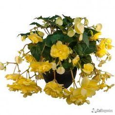 Yellow Hanging Basket Begonia