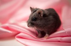 Small pink black hamster