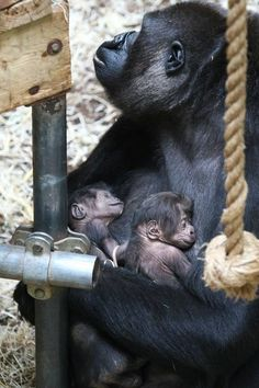 Gorilla Twins born at Burgers Zoo Netherlands