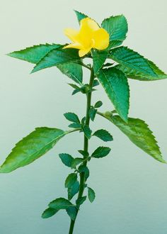 Damiana is showing up in teas, smoothies, and maybe your next cocktail.