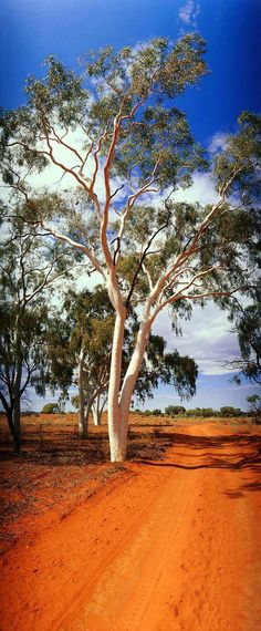 Ghost Gum, Finke River National Park, Northern Territory, Australia - What a gorgeous photograph - I love the red dirt track, the white gum and the blue sky - beautiful contrasting colours ~ South Australia, Western Australia, Australia Travel, Australian Cattle Dog, Australian Bush, Thinking Day, Beautiful Landscapes, Sri Lanka, Places To See