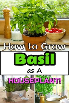 Growing Basil Indoors is not only possible but easy as well. Doing this can allow you to enjoy the fresh harvest of this culinary herb year-round, even in Winters! Growing Herbs Indoors, Growing Vegetables, Growing Plants, Indoor Vegetable Gardening, Container Gardening, Herb Gardening, Organic Horticulture, Basil Plant, Inside Plants
