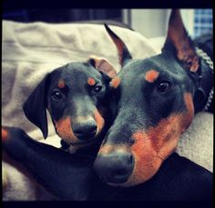 Doberman puppy!