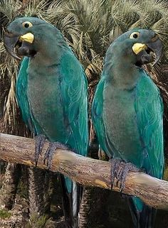 The Glaucous Macaw (Anodorhynchus glaucus) is a large all blue South American parrot, a member of a large group of Neotropical parrots known as macaws. This macaw is critically endangered and generally believed to be extinct. It is closely related to the Lears Macaw A. leari and the Hyacinth Macaw A. hyacinthinus. In Guaraní, it was called guaa-obi after its vocalizations. If there are any left the population is assumed to be tiny (fewer than 50 individuals).