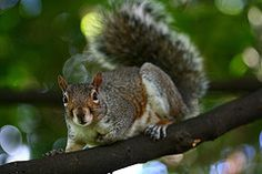 Tips for Keeping Squirrels Out of Your Garden - I live in the Fat Gray Squirrel Capital of the World so i'm trying them ALL!!