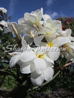 Photograph of white plumeria. Artwork by Sharon Patterson may be PURCHASED at: http://1-sharon-patterson.fineartamerica.com