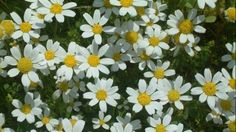 Curative effect of chamomile – Natural Health