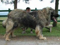 The Caucasian Shepherd or Ovtcharka (in Russian Ovtcharka means shepherd or sheepdog)