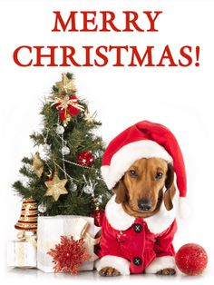 "Santa Dachshund Christmas Card: Here comes Santa Paws, right down Santa Paws Lane! Say ""Merry Christmas"" like never before with this Santa Dachshund Christmas card! The adorable dachshund puppy is dressed in a Santa hat and suit, ready to deliver treats for Christmas. Presents rest under the Christmas tree behind him, which is decorated with ornaments, bells, stars and strings of silver beads. Send this Christmas card to your friends and family today!"