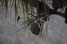 Hummingbird  em Lagoa Santa - MG.