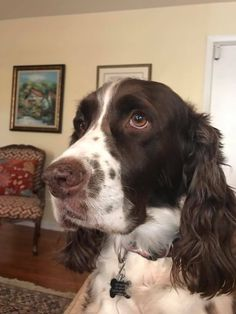 Springer Spaniel Puppies, English Springer Spaniel, Cute Cats And Dogs, Cute Dogs And Puppies, Chien Springer, Cute Dog Memes, English Setters, Spaniel Breeds, Cute Dog Photos