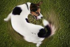 A la gente le suele resultar gracioso que el perro se persiga la cola e incluso se le incita a ello, el problema reside en que puede causar una estereotipia o TOC (Trastorno Obsesivo Compulsivo)