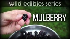 Mulberry - Wild Edibles Series