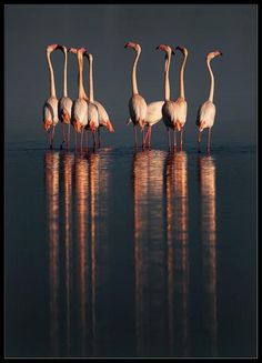It has also been known as the Caribbean flamingo, but the species' presence in the Galápagos makes that name problematic. It is the only flamingo which naturally inhabits North America. Love Birds, Beautiful Birds, Animals Beautiful, Cute Animals, Photo Animaliere, Pink Bird, Tropical Birds, Tier Fotos, All Gods Creatures