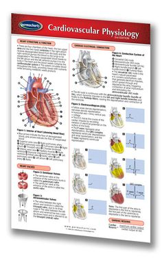 cardiovascular physiology lab Lab time/date  physiology: blood pressure  as you listened to the heart sounds during the laboratory session, what differences in pitch, length, and.
