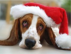 Image result for basset hound santa hat